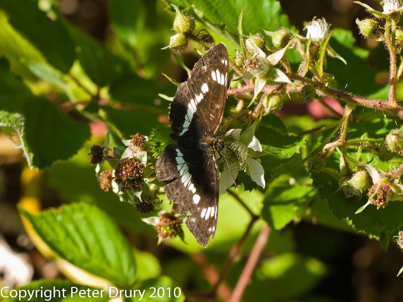 White Admiral (Limenitis camilla). Copyright Peter Drury 2010