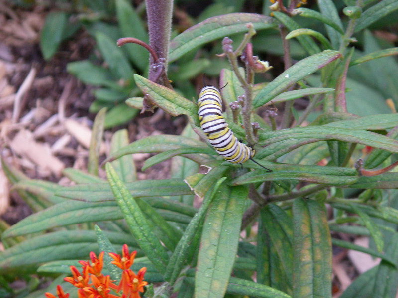 monarch butterfly caterpillar on butterfly weed, outdoor garden in Holyoke, Massachusetts, August 24, 2006.