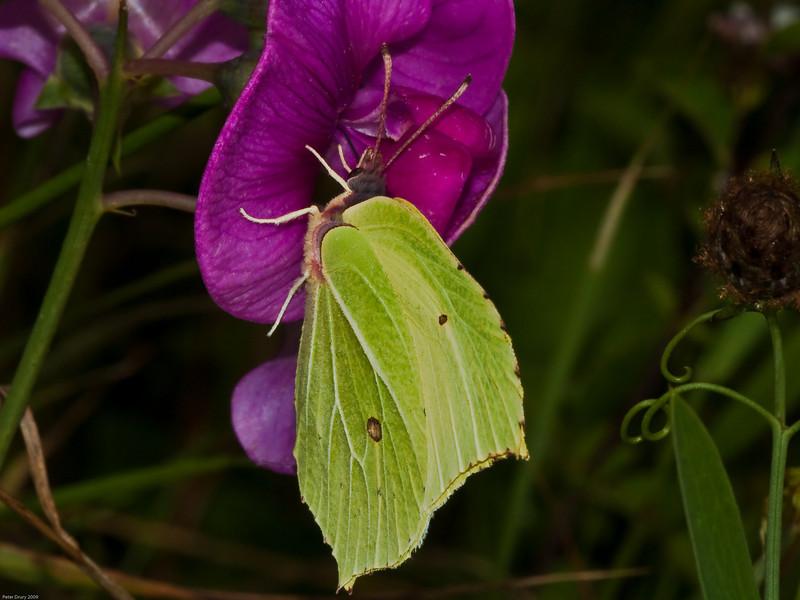 Brimstone (Gonepteryx rhamni). Copyright 2009 Peter Drury