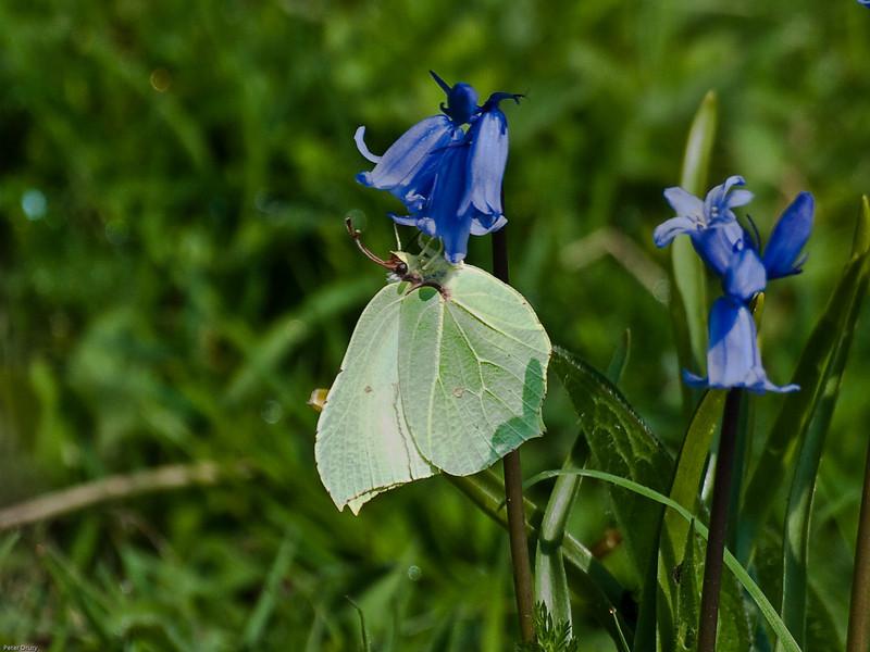 Brimstone (Gonepteryx rhamni)<br /> Portchester Common, Portsdown Hill