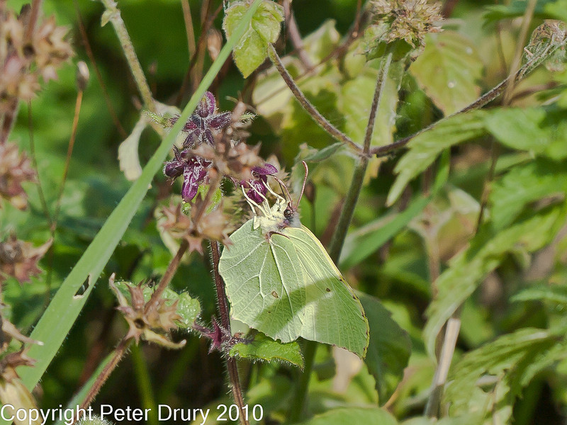 20 Sep 2010 - Brimstone (Gonepteryx rhamni) at Plant Farm, Waterlooville. Copyright Peter Drury 2010