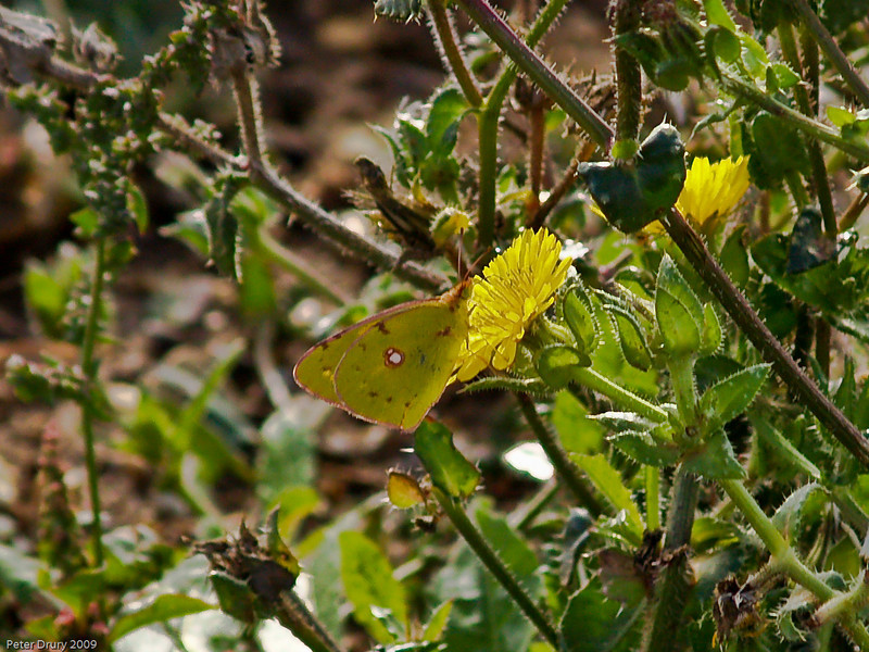 Clouded Yellow (Colias crocea). Copyright 2009 Peter Drury