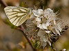 Green-veined White (Artogeia napi)<br /> Southmoor, Langstone Harbour