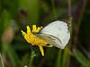 Large White (Pieris brassicae). Copyright 2009 Peter Drury