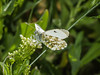Female Orange Tip at West Hayling LNR, near the Oysterbeds