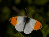 Orange Tip (Anthocharis cardamines) Male