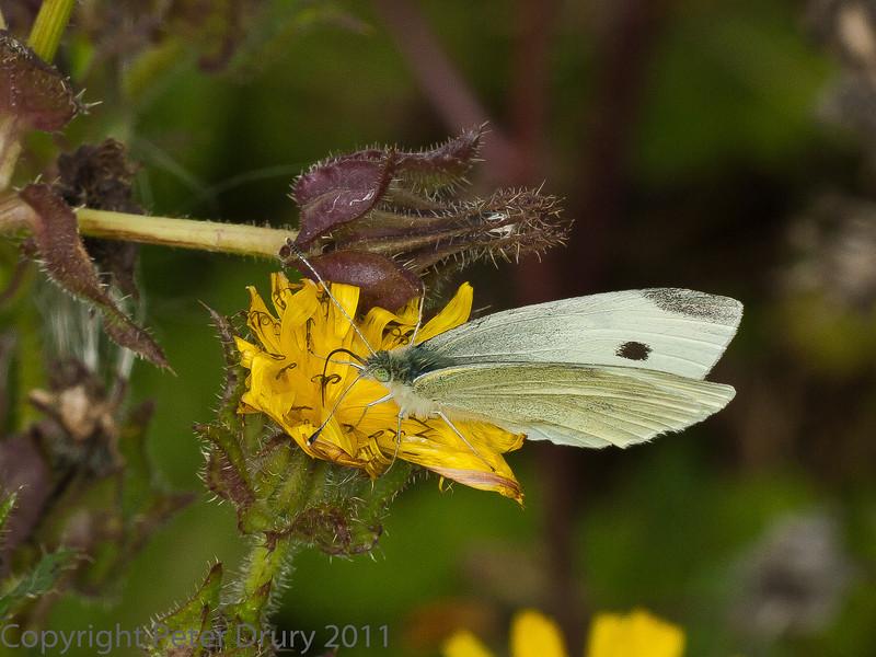 20 Sep 2011 Small white at Plant Farm