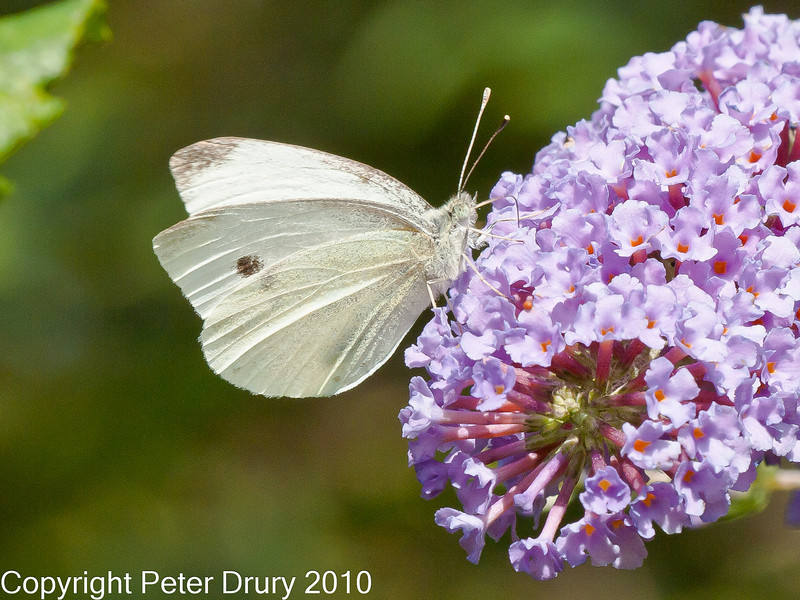 01 Sep 2010 -  Small White (Artogeia rapae) seen at Plant Farm, Portsdown Hill. Copyright Peter Drury 2010