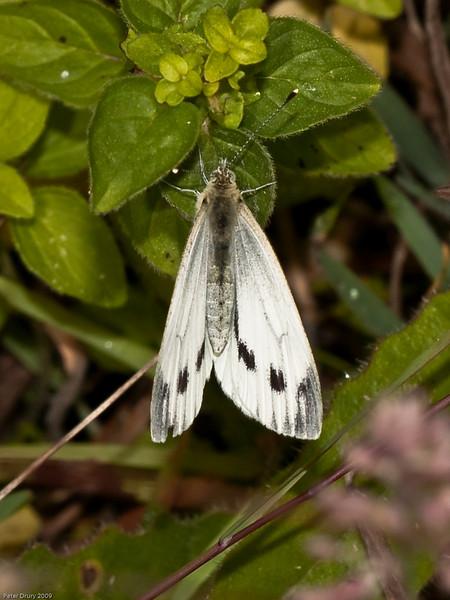 Small White (Artogeia rapae) male. Copyright 2009 Peter Drury