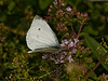 Small White (Artogeia rapae). Copyright 2009 Peter Drury