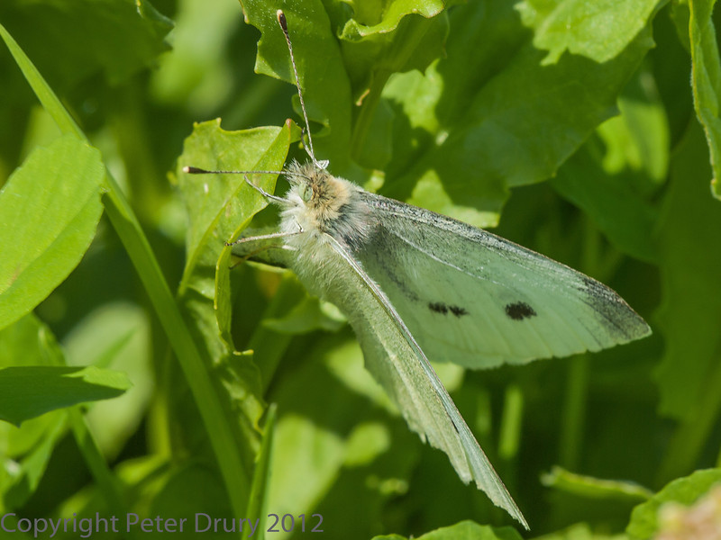 Small white at West Hayling LNR
