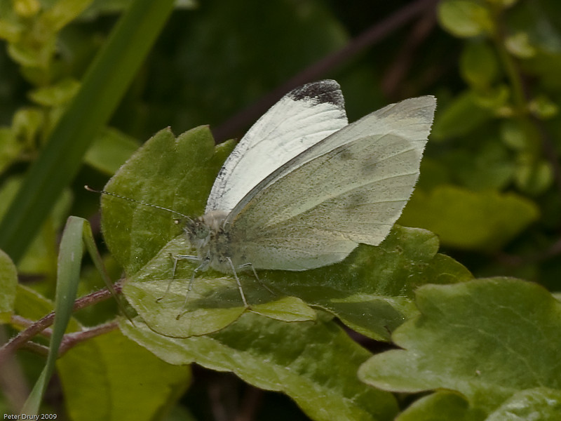 Small White (Artogeia rapae). Copyright 2009 Peter Drury