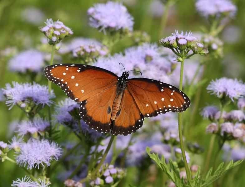 Queen Butterfly (male)
