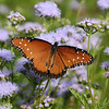 Queen Butterfly (male)