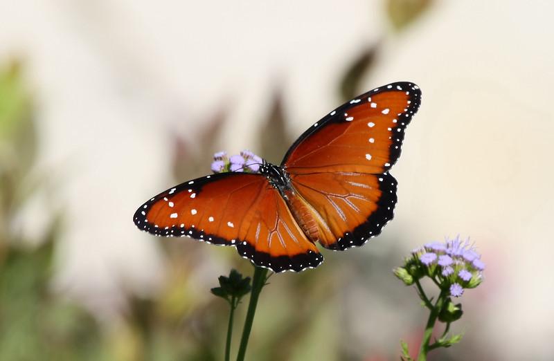Queen Butterfly (female)