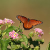 Queen Butterfly (female)