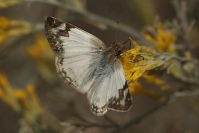 Rabbitbush Butterfly Fieldtrip