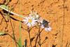 Grizzled Skipper (Pyrgus centaureae).