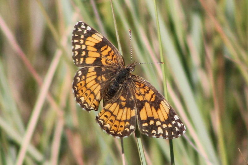 Gorgone Checkerspot (Chlosyne gorgone).