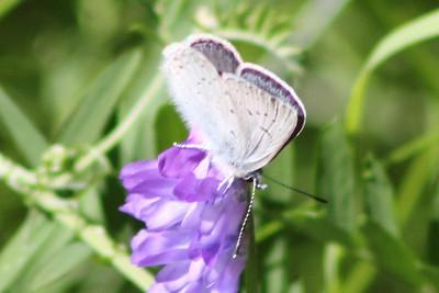 Rocky Mountain Butterflies