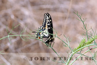Anise Swallowtail; San Francisco