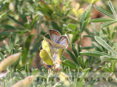 Boisduval Blue female