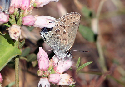 Behr Hairstreak; Greenhorn Mtn.s, Kern County