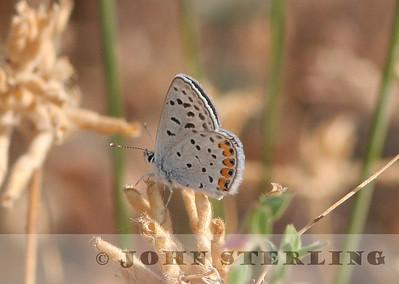 Sterling's California Butterflies