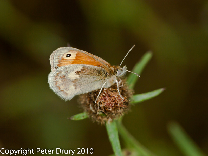 02 Aug 2010 - Small Heath (Coenonympha pamphilus). Copyright Peter Drury 2010
