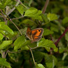 Gatekeeper (Pyronia tithonus). Male. Copyright 2009 Peter Drury