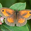 Gatekeeper (Pyronia tithonus). Female.. Copyright Peter Drury 2010