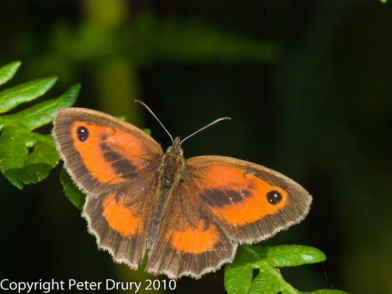 Gatekeeper (Pyronia tithonus). Male. Copyright Peter Drury 2010