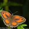 Gatekeeper (Pyronia tithonus). Male. Copyright Peter Drury 2010