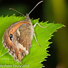 Gatekeeper. Copyright Peter Drury 2010