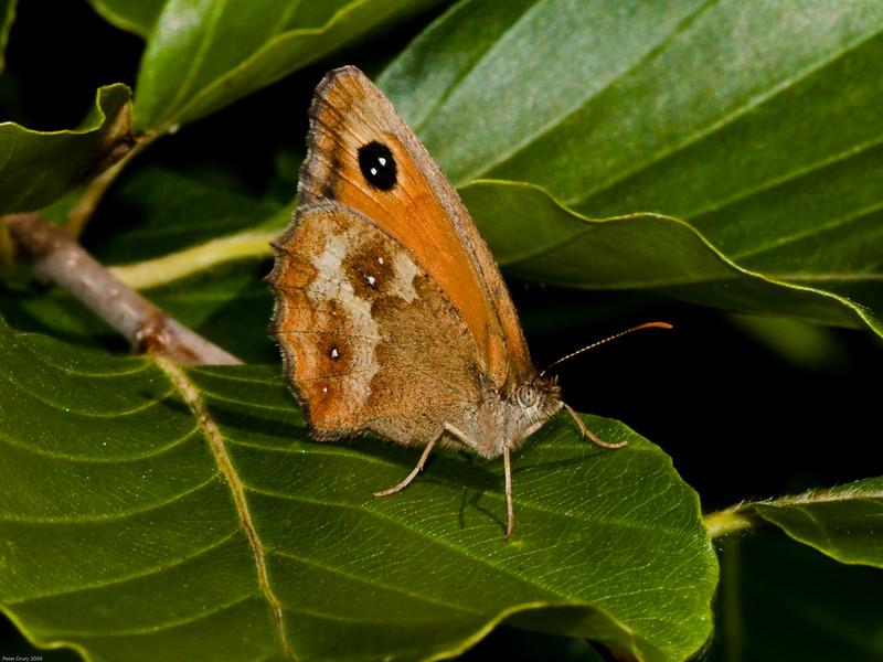 Gatekeeper (Pyronia tithonus). Copyright 2009 Peter Drury