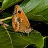 Gatekeeper (Pyronia tithonus). Copyright 2009 Peter Drury