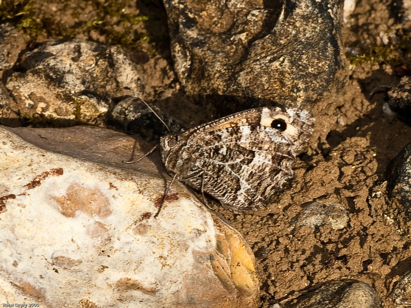 Grayling (Hipparchia semele). Copyright 2009 Peter Drury