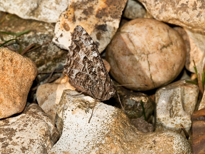 Grayling (Hipparchia semele). Copyright 2009 Peter Drury