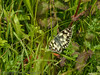 28 June 2012 Marbled White at Portchester Common.