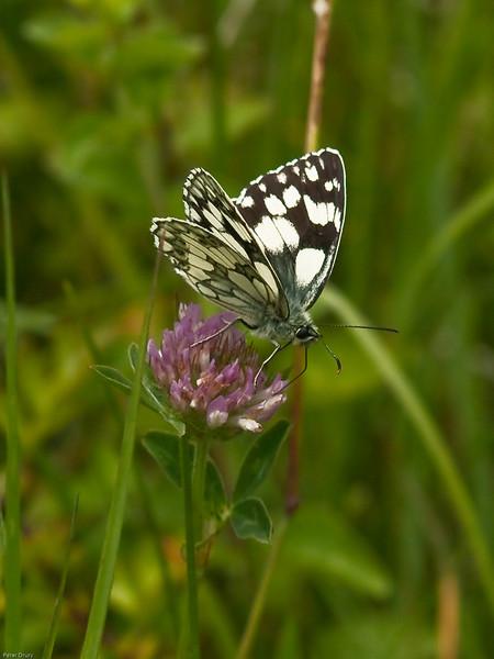 Marbled White ( Melanargia galathea). Copyright 2009 Peter Drury