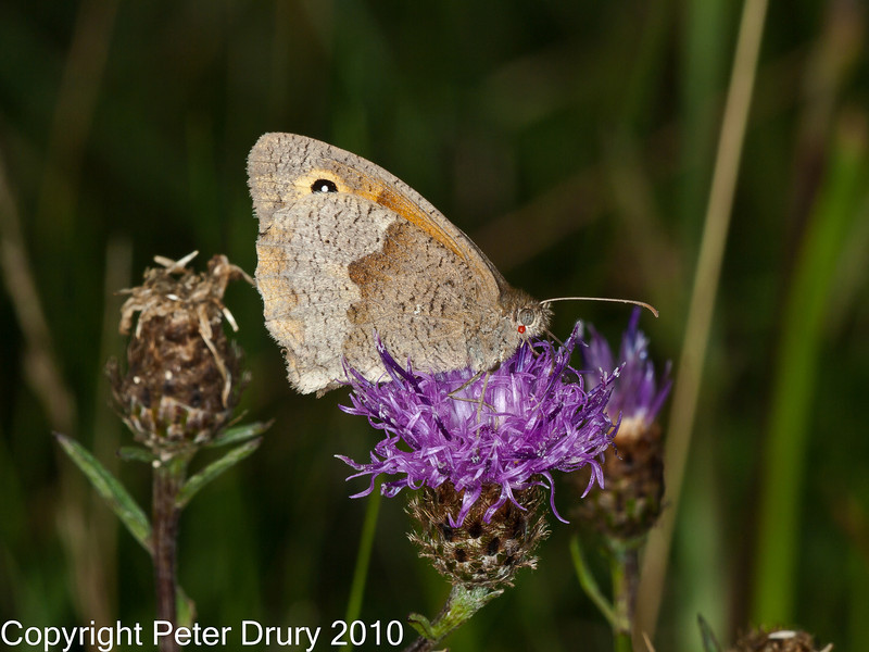 11 Sep 2010 - Meadow Brown at Portchester Common, Portsdown Hill. Copyright Peter Drury 2010