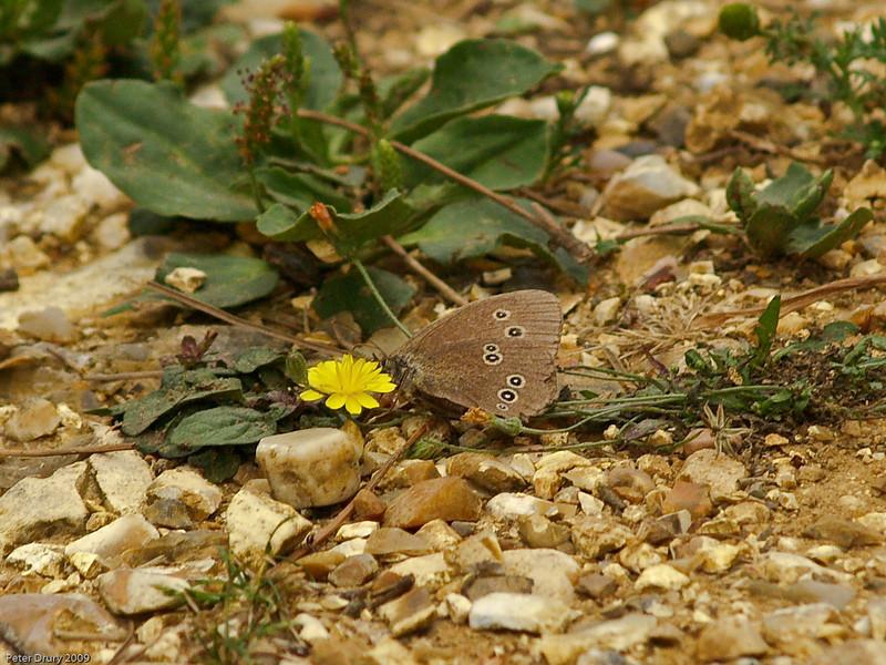 Ringlet (Aphantopus hyperantus). Copyright 2009 Peter Drury