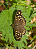07 April 2011. Speckled Wood in Creech Wood.  Copyright Peter Drury 2011