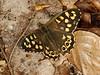 Speckled Wood (Pararge aegeria). Female. Copyright Peter Drury 2010
