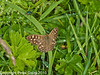 23 Sep 2010 - Speckled Wood at Plant Farm, Waterlooville. Copyright Peter Drury 2010