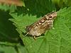 Speckled Wood (Pararge aegeria). Copyright Peter Drury 2010