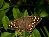 Speckled Wood (Pararge aegeria). Female. Copyright 2009 Peter Drury