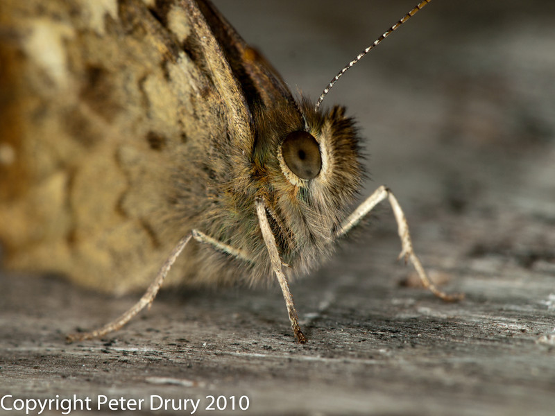 30 July 2010 - Speckled Wood. Copyright Peter Drury 2010