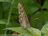Speckled wood?. Copyright Peter Drury 2010