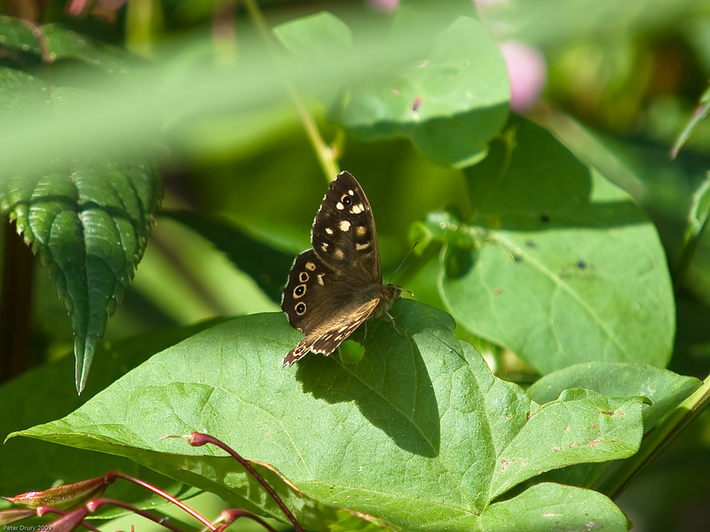 Speckled Wood (Pararge aegeria). Copyright 2009 Peter Drury